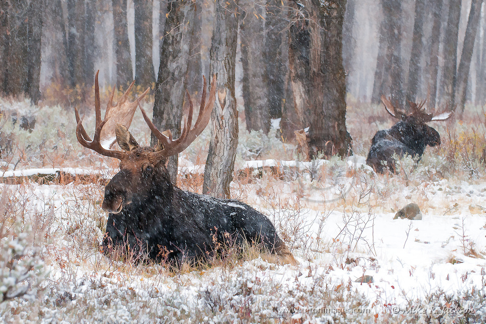 Two bull moose resting in a stand of cottonwoods during an early winter snow storm.
