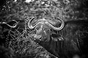 African buffalo or Cape buffalo (Syncerus caffer).