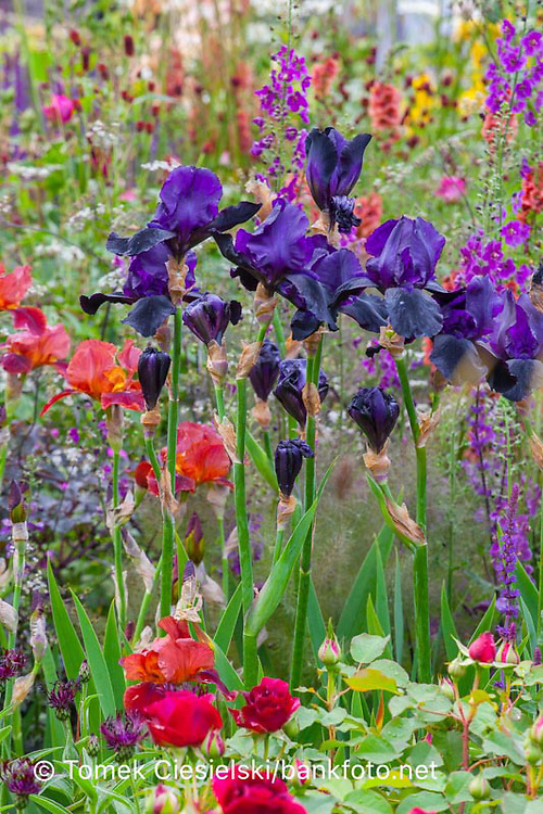 Iris germanica 'Black Swan' between full of blossom flowerbed