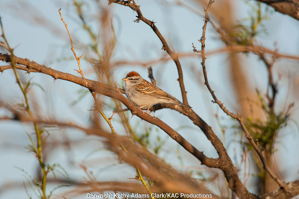 Chipping Sparrow; Spizella passerina perched in tree in Laredo, Texas in spring.