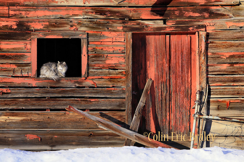 A furry feline is warmed by an afternoon sun as it rests in the winodw of an old barn in Eden, Utah. Photo by Colin Braley