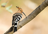 A Eurasian hoopoe perches on a stout branch, Parc de l'Oreneta, Barcelona, Spain.