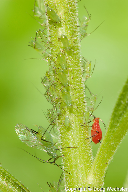 Uroleucon aphids; Uroleucon spp.; two species on goldenrod; PA, Philadelphia, Wissahickon Park;