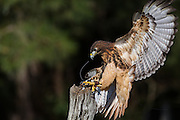 Red tailed hawk landing on a tree branch at the Center for Birds of Prey November 15, 2015 in Awendaw, SC.