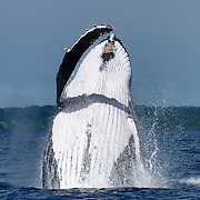 Adult female humpback whale (Megaptera novaeangliae) breaching. Photographed in Vava'u, Kingdom of Tonga.