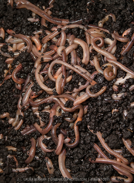 Earthworms, also known as dew-worms or night crawlers.