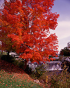 this vibrant red maple tree looks over the west river in londonderry, vermont no property release