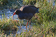 Pukeko, West Coast, New Zealand