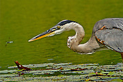 A Great Blue Heron on Lily Lake, Cape May Point, New Jersey