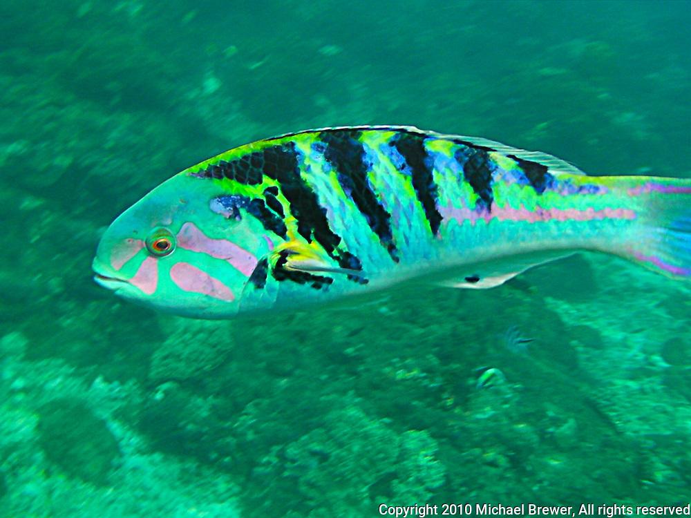 Amazing rainbow fish from bali, Indonesia.