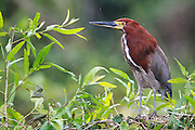 A Rufescent tiger heron waits by the river in an unsual winter rain.
