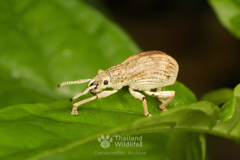 A weevil or snout beetle from the Curculionoidea superfamily. Kaeng Krachan National Park, Thailand.