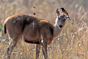 Female sambar deer (Rusa unicolor) with Rufous treepie (Dendrocitta vagabunda). Photo from Bandhavgarh National Park, Madhya Pradesh, India.