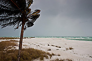 Coconut palm tree in stormy weather Anna Maria Island, Florida, USA