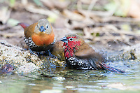 Male and female Red-Throated Twinspot bathing and drinking, Mphingwe Camp, Catapu, Sofala Province, Mozambique