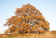 Single oak tree standing in a field in winter, Sutton, Suffolk, England, UK
