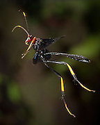Colorful wasp (probably an ichneumon wasp: Ichneumonidae) photographed with a high speed camera in Matobo National Park, Zimbabwe. © Michael Durham / www.DurmPhoto.com