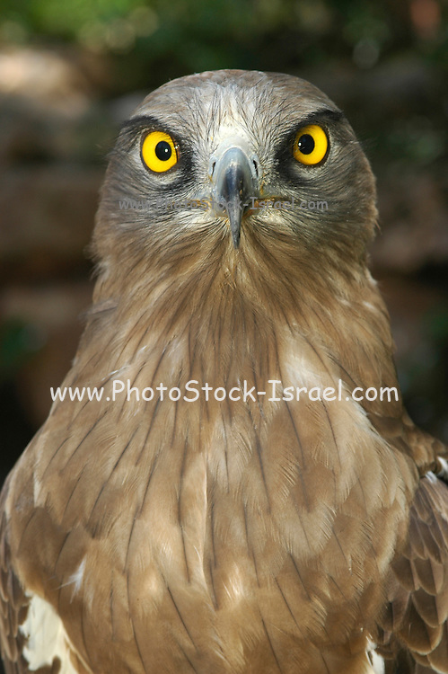 Short-toed Eagle, Circaetus gallicus