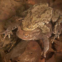 """Mating common toad (Bufo bufo), European toad, vanlig padda, padda<br /> Location: Billebjär, Skåne, Sweden<br /> Amplexus (Latin """"embrace"""") is when a male grasps a female with his front legs as part of the mating process."""