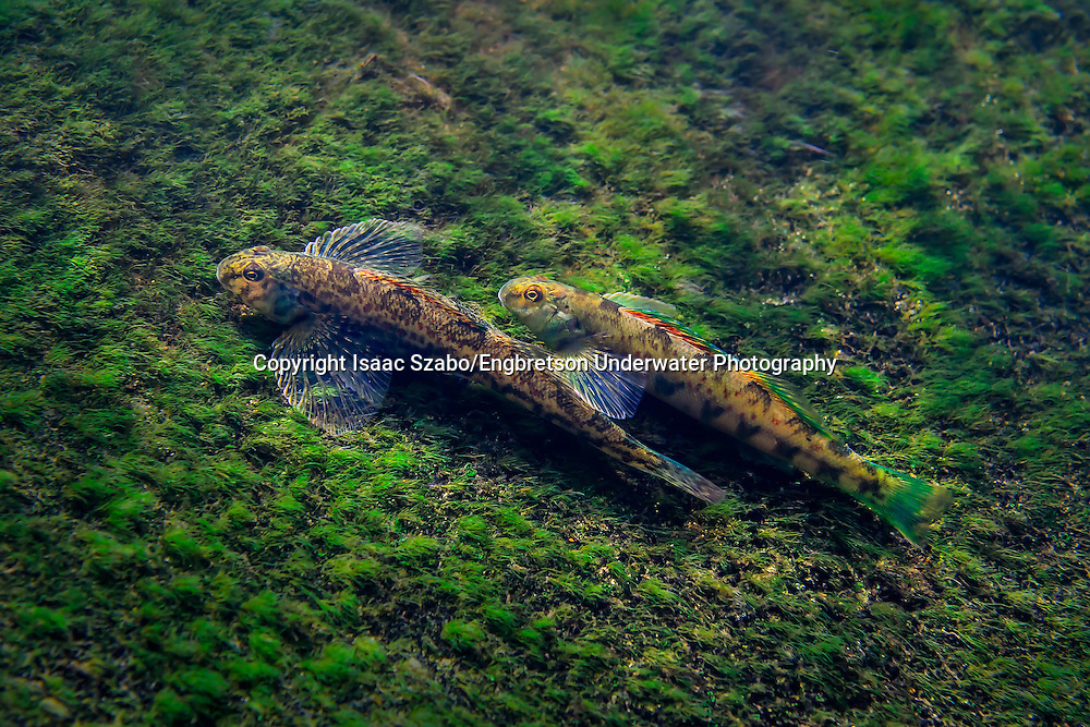 Greenside Darter<br />