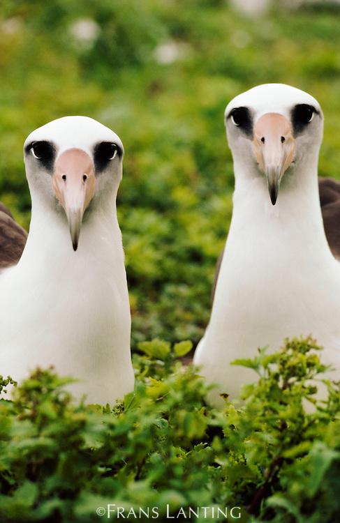 Laysan albatross pair, Phoebastria immutabilis, Hawaiian Leeward Islands