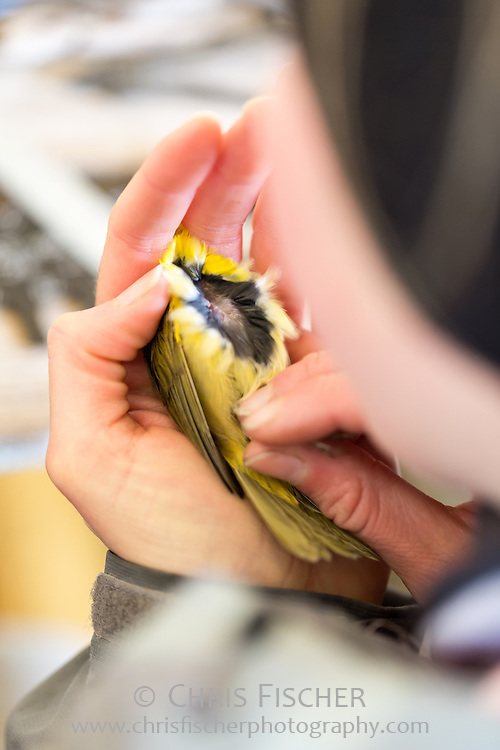 A biological field researcher checks a bird's breeding condition, body molt, and fat content by gently blowing aside the feathers on the body. Stratton Island, Maine.