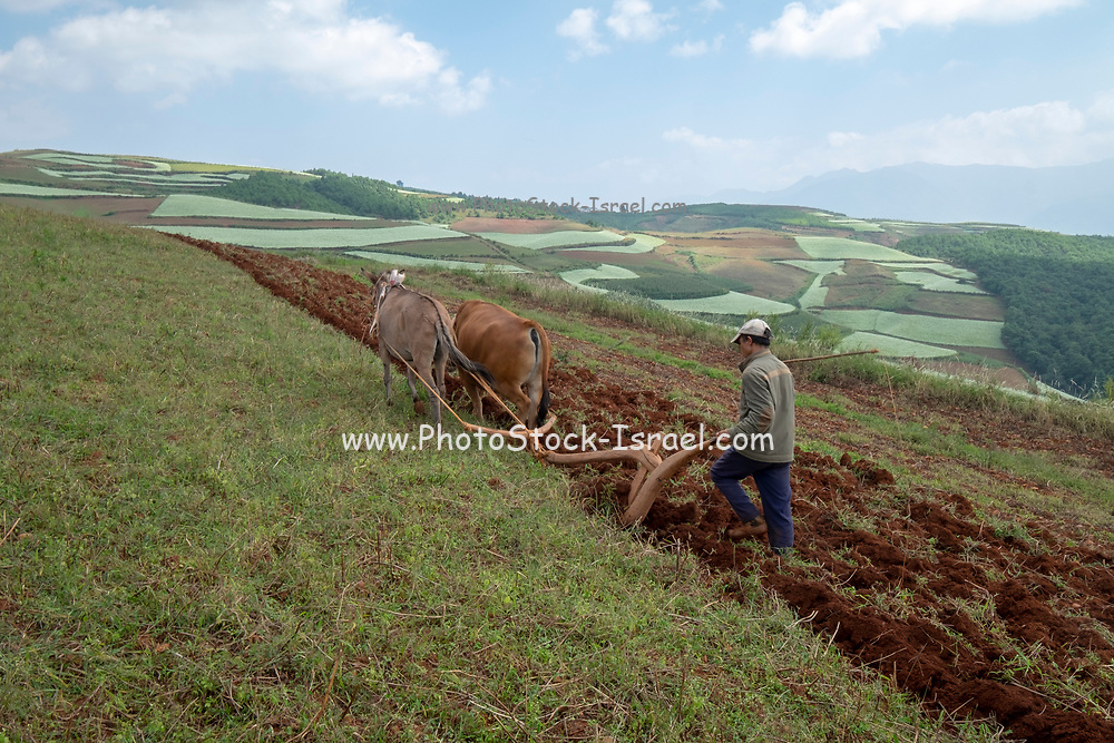 Farmer and Water buffalo ploughing the terraces of the Ailao Mountains between the Red River and Vietnam. Honghe Prefecture, Yuanyang county, Yunnan, China