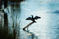 A male anhinga dries his wings in the early evening in Fort Myers, Florida after a long day of fishing.