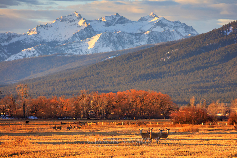 Whitetailed Deer below the Como Peaks, Bitterroot Valley Montana.