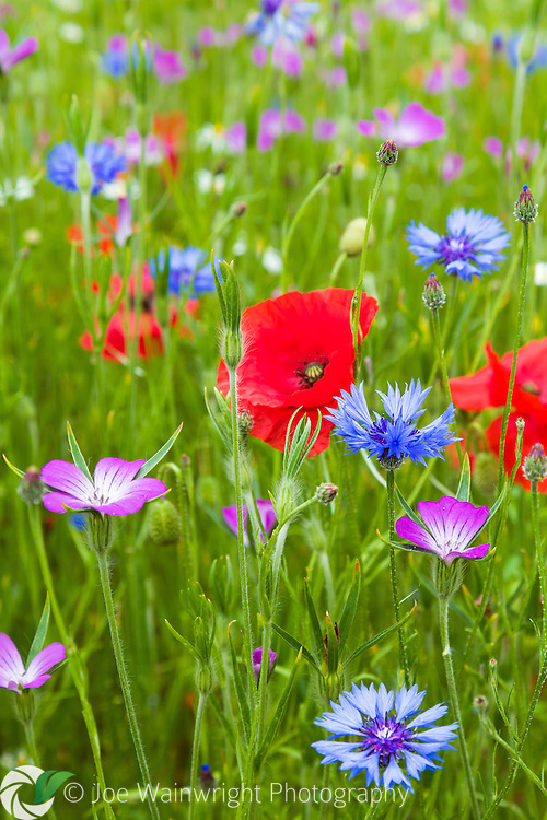Field poppies, corn cockles and cornflowers shine like jewels set in a rich carpet of grass.
