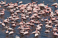 Flock of flamingos (genus: Phoenicopterus) in water elevated view