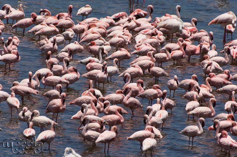 Flock of flamingos (genus: Phoenicopterus) in water elevated view