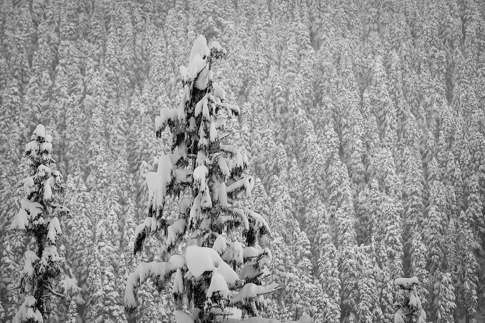 Wintry photo of a snowy forest on a cloudy day with a few trees standing out from the rest across the valley in Brandywine Bowl snowmobile area near Whistler, British Columbia, Canada