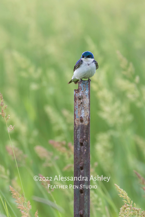 Tree swallow (Tachycineta bicolor) perched amid tall grasses at nature preserve, NE Ohio.