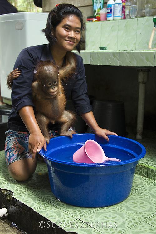 Bornean Orangutan<br /> Pongo pygmaeus<br /> Caretaker with infant at bath time<br /> Orangutan Care Center, Borneo, Indonesia<br /> *No model release available - for editorial use only