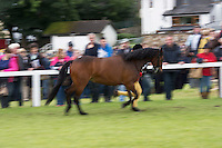 18/08/2016 repro free Pony showing at the 93rd annual Connemara Pony show in Clifden Co. Galway. Photo:Andrew Downes, XPOSURE