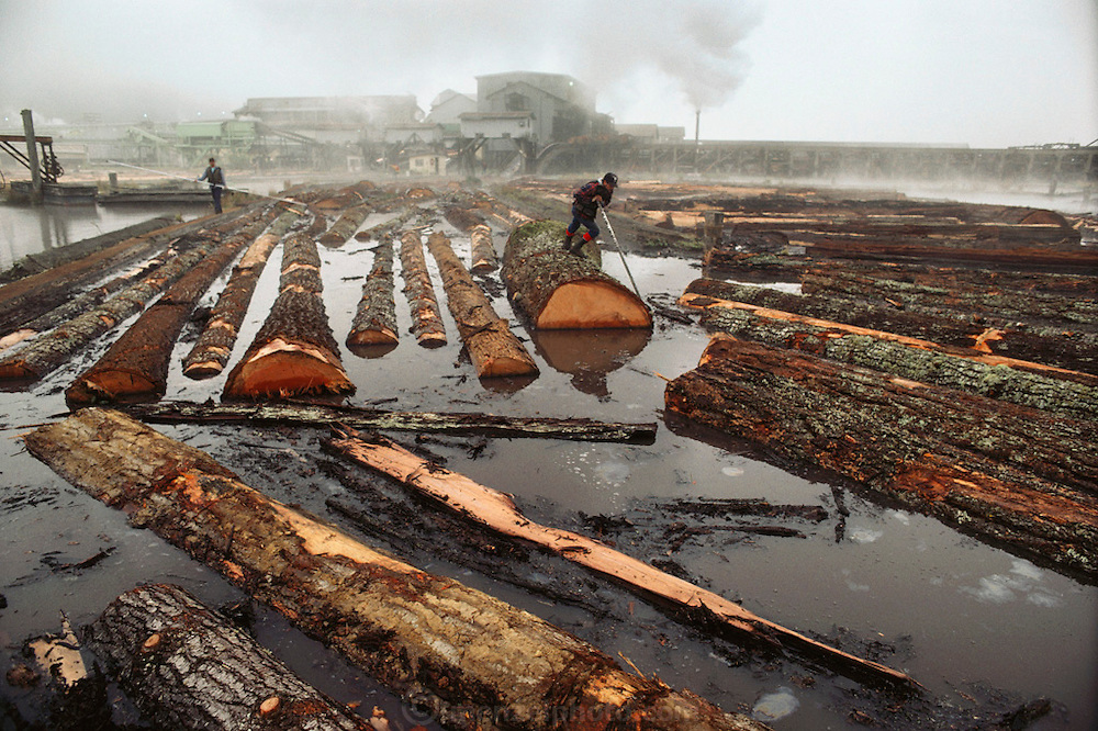 Redwood logs in the millpond awaiting processing at Scotia Redwood Mill, the largest redwood mill in the world.  The town of Scotia is owned by Pacific Lumber Company and populated entirely by its employees. Humboldt County, California, USA.