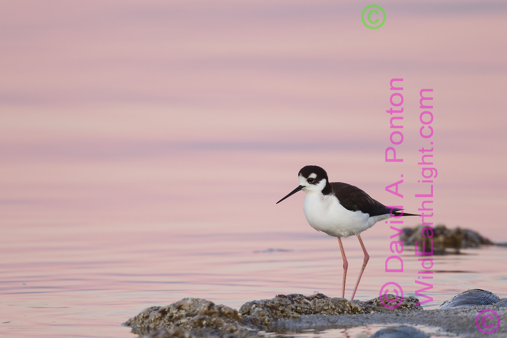 Black-necked stilt wading in shallows, with dawn light reflecting on the water, Salton Sea, CA, © 2011 David A. Ponton
