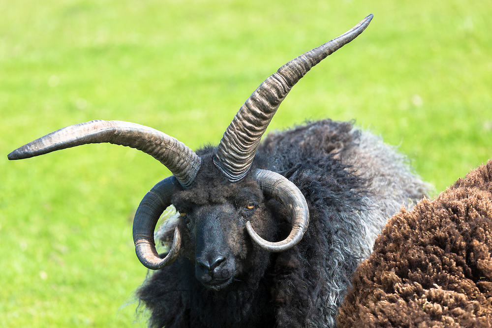 Black ram, a Jacobs Four-Horned or Multihorned pedigree male sheep, at Coigach in Western Scotland