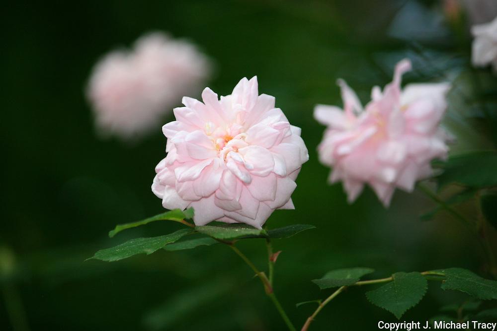 Miniature Pink climbing Roses.