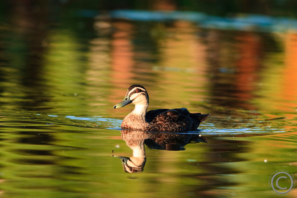 A duck swims on a lake in Anderson Park, Townsville, far north Queensland, Australia.