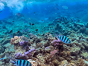Snorkeling, Coral Garden, Bora Bora, Society Islands, French Polynesia; South Pacific