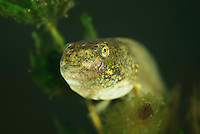 Pool frog tadpole (Pelophylax lessonae) sitting in and eating from soft hornwort (Ceratophyllum submersum), underwater, Danube Delta, Romania.