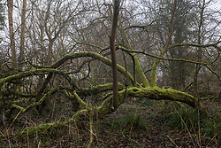 Denham, UK. 6 February, 2020. A beautiful moss-covered tree in Denham Country Park designated for removal as part of works associated with the HS2 high-speed rail link. Works planned in the immediate vicinity include not only the felling of mature trees but also the construction of a Bailey bridge, compounds and fencing, some of which in a wetland nature reserve forming part of a Site of Metropolitan Importance for Nature Conservation (SMI).
