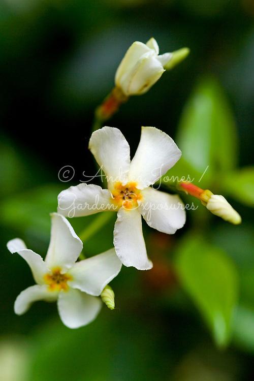 Trachelospermum asiaticum (Chinese jasmine) flowers