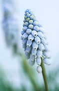 Muscari armeniacum 'Valerie Finnis' - Armenian grape hyacinth