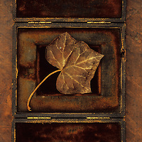 Dried brown autumn or winter leaf of Ivy or Hedera helix lying in old velvet box