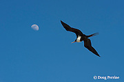 female great frigatebird, 'iwa, or iwa bird, Fregata minor, flying under moon, East Island, French Frigate Shoals, Papahanaumokuakea Marine National Monument, Northwest Hawaiian Islands, Hawaii ( Central Pacific Ocean )