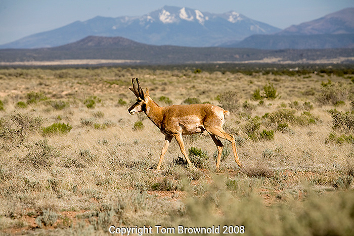 A solitary Prong horn in the high desert grassland of Arizona with the 12600' San Francsico Peaks rising in the background.<br /> The pronghorn (Antilocapra americana) is a species of artiodactyl mammal endemic to interior western and central North America