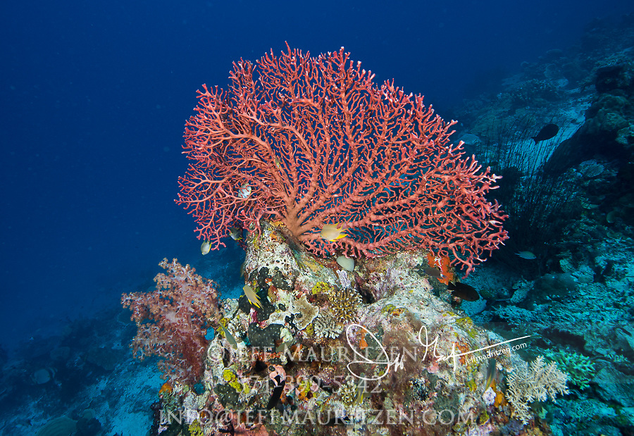 Colorful Gorgonian or sea fan in Raja, Ampat, Indonesia.